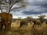 Adolescent elephants tussle amiably