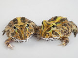 A pair of vulnerable Pacific horned frogs