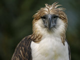 A captive male Philippine Eagle at the Philippine Eagle Center