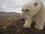 A male polar bear taking its image with a camera trap