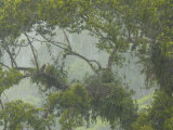 A pair of Philippine eagles at their nest in the rain forest canopy
