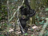 Playtime for a pair of juvenile western lowland gorillas