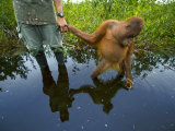 An orangutan orphan clings to the hand of a human protector