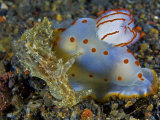 A Gymnodoris ceylonica nudibranch feeding on a sea hare