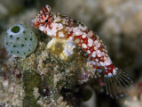 An ascidian and triplefin fish