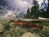 Spawning sockeye salmon in a shallow channel