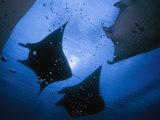 Manta rays over Manta Point