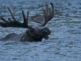 A moose  Alces alces  swimming in Redrock Lake