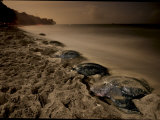Leatherback turtles nesting on Grande Riviere Beach
