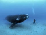 A diver has a close encounter wih a southern right whale Papier Photo par Brian J. Skerry