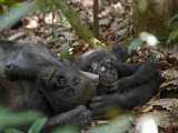 A young western lowland gorilla lies beside his napping mother