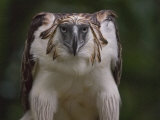 Portrait of a captive Philippine eagle