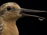 Close view of a red knot sandpiper