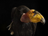 A captive endangered California condor at the Phoenix Zoo