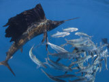 Sailfish hunt sardines using their bills and sails to corner the fish