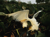 A great egret seized by a yellow anaconda's crushing coils
