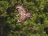 A female Philippine eagle leaving her nest to hunt for food