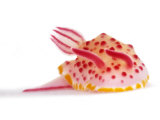 A toxic Mexichromis mariei nudibranch