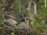 A male Philippine eagle and chick fighting over prey
