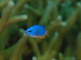 A blue damselfish in a sheltering coral colony