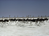 An ostrich troupe flies on its feet across Namibia's Etosha Pan