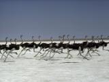 An ostrich troupe flies on its feet across Namibia's Etosha Pan
