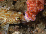 A Ceratosoma nudibranch crawls over a variable sabretooth blenny