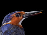 A white-bellied kingfisher