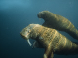 Two Pacific walruses swim together off the northwest coast of Alaska