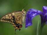 A butterfly resting on an iris flower