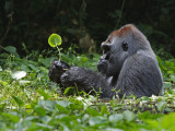 A silverback soaks in a swamp for hours while munching herb roots