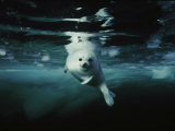 A whitecoat  or juvenile  harp seal swims gracefully in icy water
