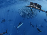Sailfish drive their prey toward the surface for easier feeding