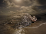 A leatherback turtle nesting on Matura Beach