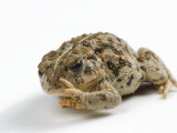 An endangered Amargosa toad