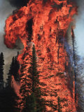 Flames hurtle through a thick stand of sub-alpine firs near Warm Lake