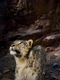 Low-light vision allows snow leopards to hunt in near total darkness