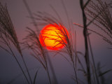 A setting sun seen through fringe of pampas grass