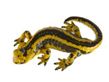 A common fire salamander