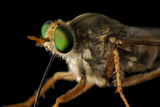 A Delhi Sands Flower-Loving Fly  Rhaphiomidas Terminatus Abdominalis
