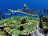 Gray reef sharks and red snappers hover above a patch of table coral