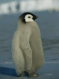 An Emperor Penguin Chick Sports a Fluffy Coat of Downy Feathers