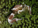 A porcelain crab in sea anemones