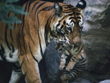 Indian tigress  Sita  moves her cubs to protect them from predators