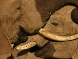 Two young male elephants scuffle in Samburu National Reserve