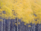 Fall colors of the quaking aspen trees along Lake Sherburne