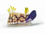 A toxic Chromodoris geometrica nudibranch