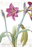 Amaryllis  no 211