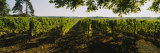 Grape Vines in a Vineyard  Loire Valley  France