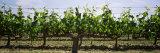 Grapes on Trellis  San Joaquin Valley  California  USA